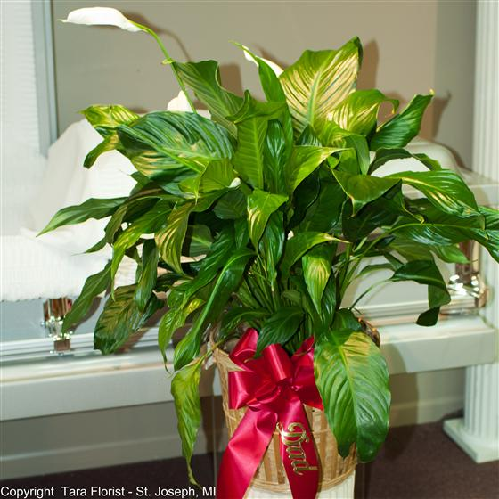 Spath Plant 10 inch in Basket