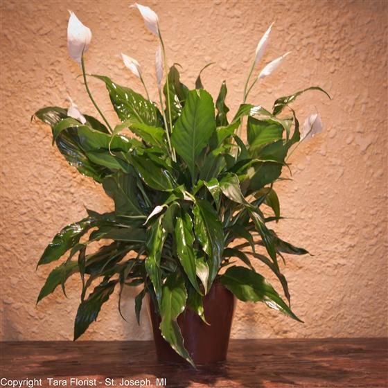 Spath Plant in Ceramic  - Six Inch Pot